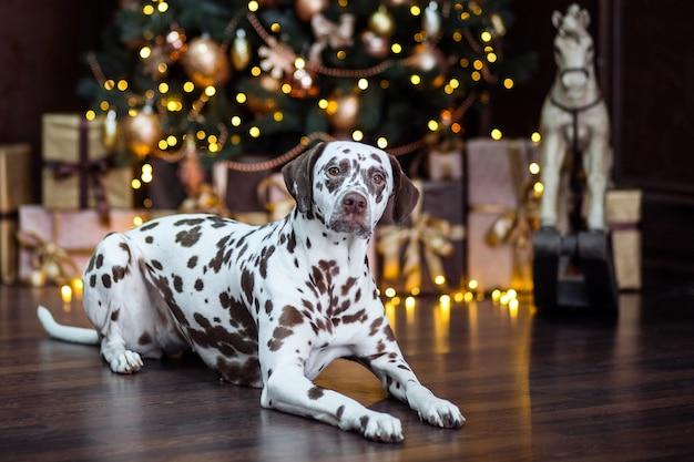 Lustige weihnachten oder neujahreshund. puppy dalmatiner liegt neben weihnachtsschmuck.