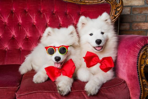 Lustige weiße samojeden auf der roten luxuscouch