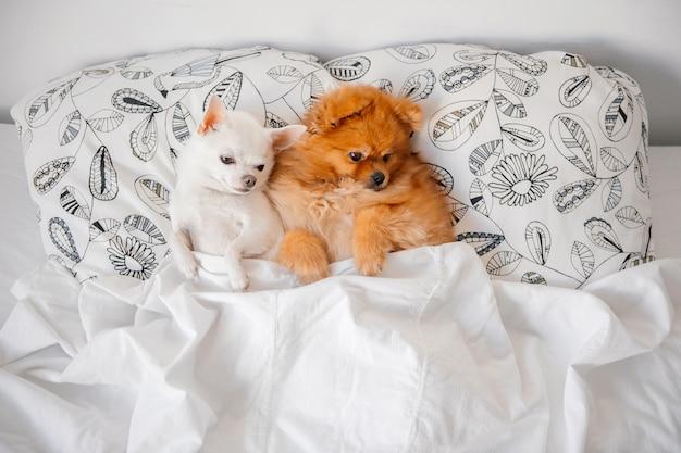 Lustige welpen, die zusammen auf kissen unter decke liegen.