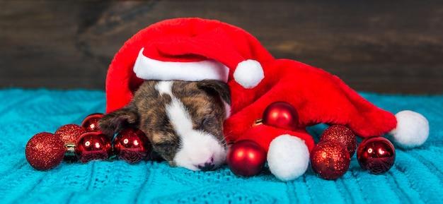 Lustiger basenji hündchen in weihnachtsmütze und roten kugeln