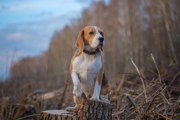 Lustiger beagle-hund, der auf einem baumstumpf im wald während eines spaziergangs am abend sitzt