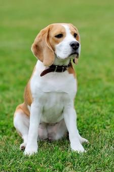 Lustiger beagle-hund im grünen sommergras