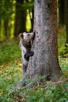 Lustiger braunbär, der sich hinter einem großen baum im wald im frühling versteckt.