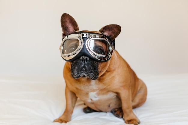 Lustiger brauner französischer stierhund auf tragenden fliegerschutzbrillen des betts. reise-konzept. haustiere drinnen und lebensstil