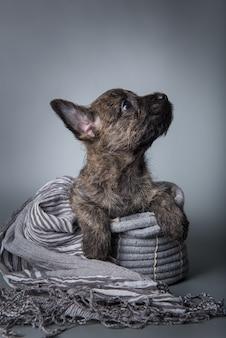 Lustiger cairn-terrier-hündchen mit gestromtem fell isoliert auf grauem hintergrund