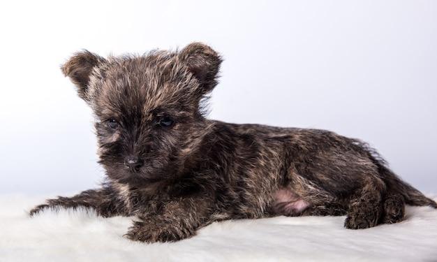 Lustiger cairn-terrier-hündchen mit gestromtem fell isoliert auf weißem hintergrund