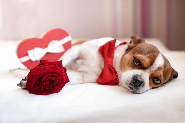Lustiger chihuahua-hund in fliege mit rotem herz geschenkbox weißes band liegend und rose im weißen bett. große hingebungsvolle augen. valentinstag.