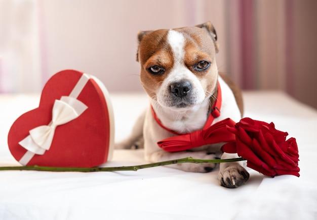 Lustiger chihuahua-hund in fliege mit rotem herz geschenkbox weißes band liegend und rose im weißen bett. valentinstag.