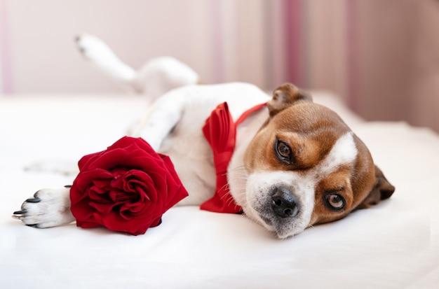 Lustiger chihuahua-hund in fliege mit roter rose, die auf einer seite im weißen bett liegt. ergebene augen. valentinstag.