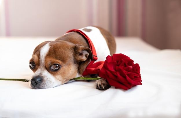 Lustiger chihuahua-hund in fliege mit roter rose, die im weißen bett liegt. ergebene augen. valentinstag.