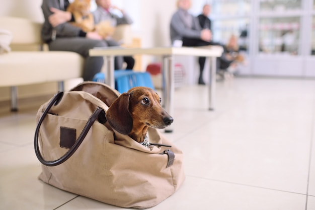 Lustiger dachshundhund späht aus der tasche in der schlange für eine ärztliche untersuchung in einer veterinärklinik heraus