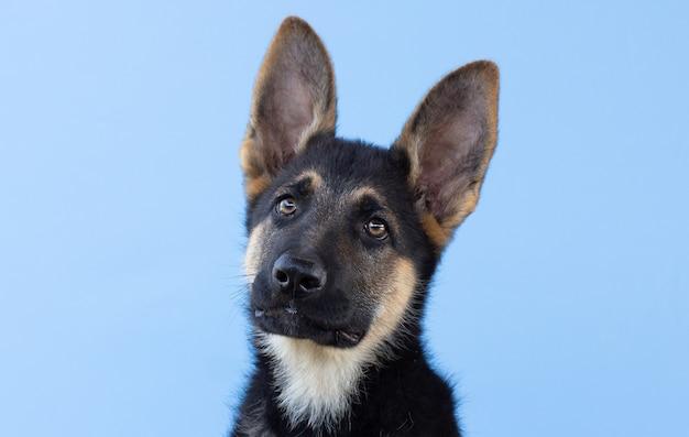 Lustiger deutscher schäferhund mit langen ohren und auf blauem hintergrund geneigtem kopf