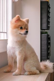 Lustiger entzückender welpenhund, der auf holztisch sitzt und rechts schaut