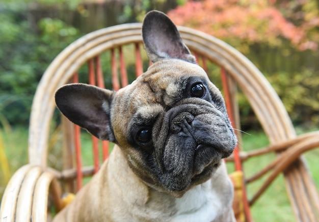 Lustiger französischer bulldoggenwelpe hautnah auf stuhl auf herbsthintergrund