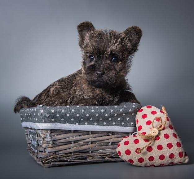 Lustiger gestromter cairn-terrier-hündchen in einem hölzernen korb mit rotem herzen am valentinstag. studioporträt lokalisiert auf grauem studiohintergrund.