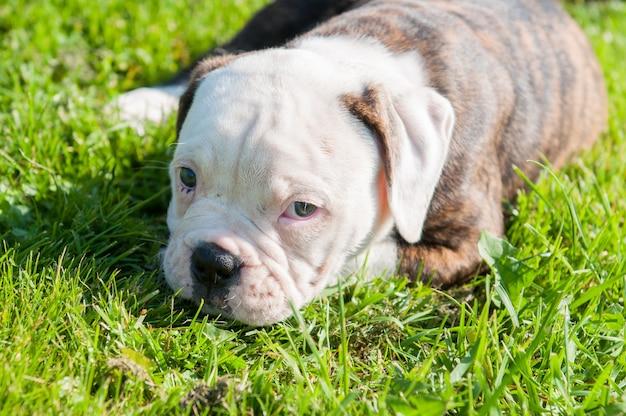 Lustiger gestromter mantel amerikanischer bulldoggenwelpe auf grünem grashintergrund der frühlings- oder sommernatur