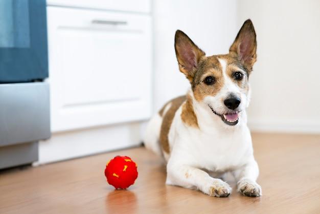 Lustiger glücklicher lächelnhund, der zu hause mit einem quietschenden haustierspielzeug des balls spielt