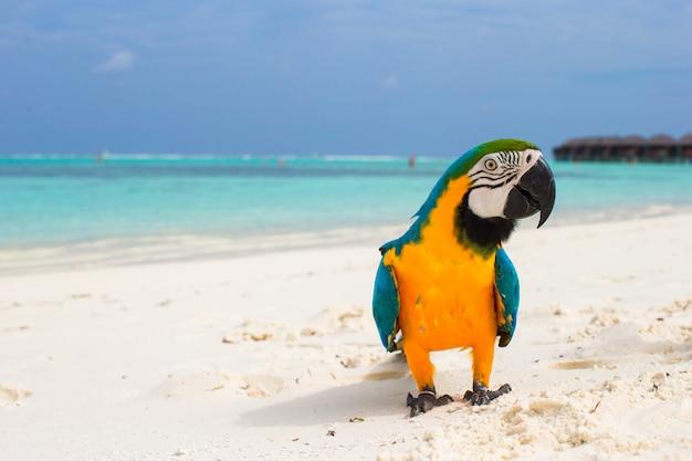Lustiger heller bunter papagei auf dem weißen sand in den malediven