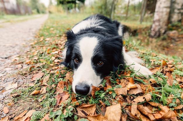 Lustiger hündchen-border-collie, der sich auf trockenem herbstblatt im park im freien hinlegt. hund schnüffelt herbstlaub beim spaziergang. hallo konzept für kaltes wetter im herbst.