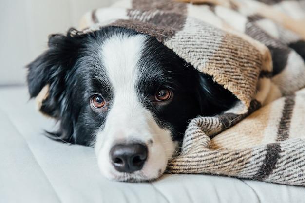 Lustiger hündchen-grenzcollie, der auf couch unter plaid drinnen liegt. schönes mitglied der familie kleiner hund zu hause erwärmung unter decke im kalten herbst herbst winter wetter. haustier tierleben konzept.