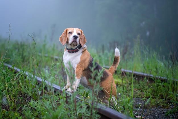 Lustiger hund beagle auf einem spaziergang in einem sommerpark am morgen in einem dichten nebel