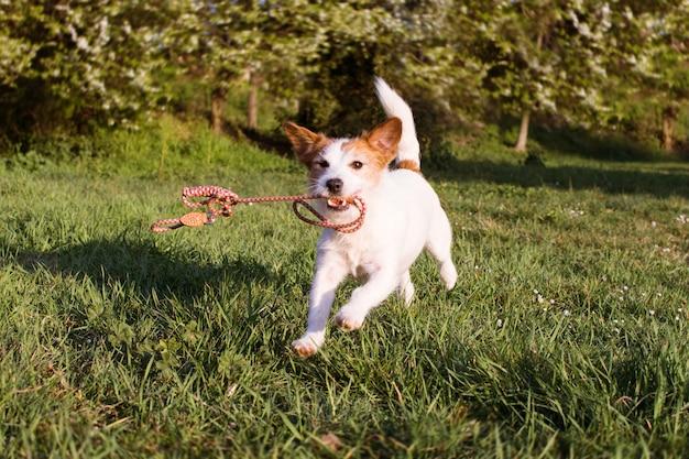 Lustiger hund, der eine bunte leine mit seinem mund am park walk läuft und hält.