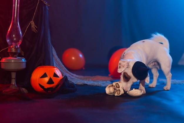 Lustiger hund des halloween-feierkonzepts, der vom künstlichen schädel halloweens isst