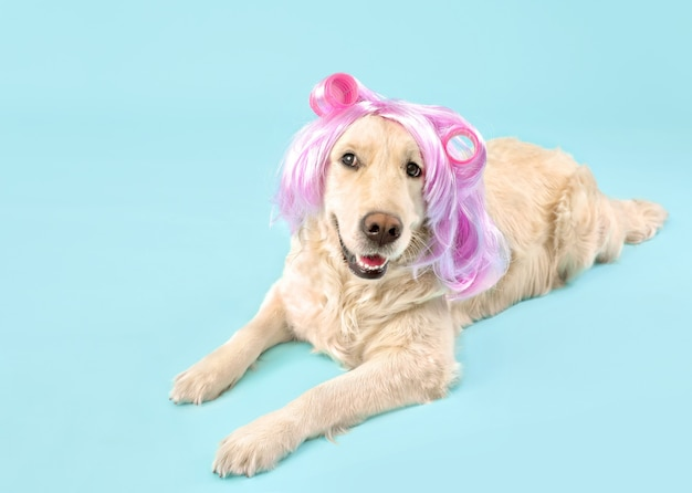 Lustiger hund in perücke und lockenwicklern auf farbe