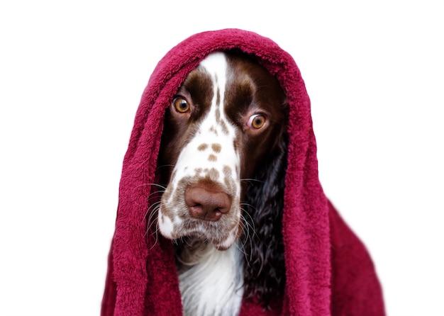 Lustiger hund nach dem baden lokalisiert auf weißem spaniel in einem handtuch