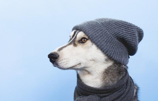 Lustiger husky-hund in einem hut auf einem blauen hintergrund