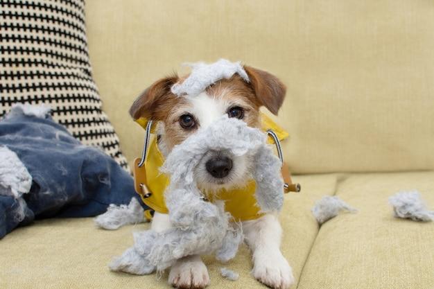 Lustiger jack russell hund nach biss und zerstöre ein kissen mit unschuldigem ausdruck.