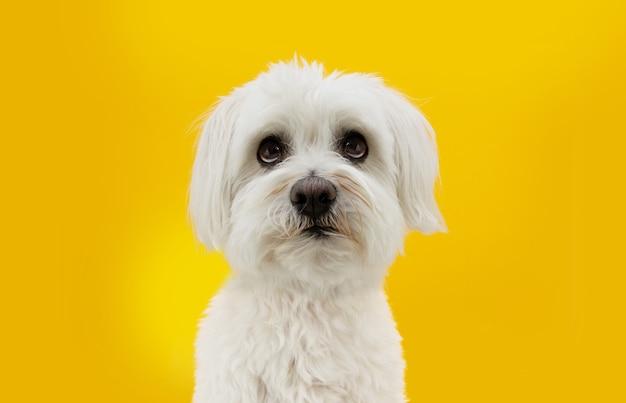 Lustiger maltesischer hund, der mit bettelndem ausdruck aufschaut. isoliert auf gelber fläche