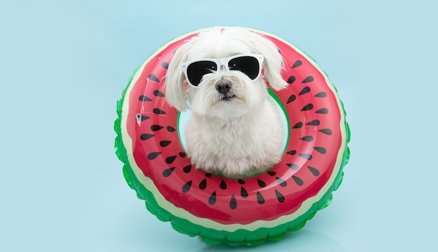 Lustiger maltesischer sommerhund innerhalb einer aufblasbaren wassermelone. isoliert auf pastellblauer oberfläche