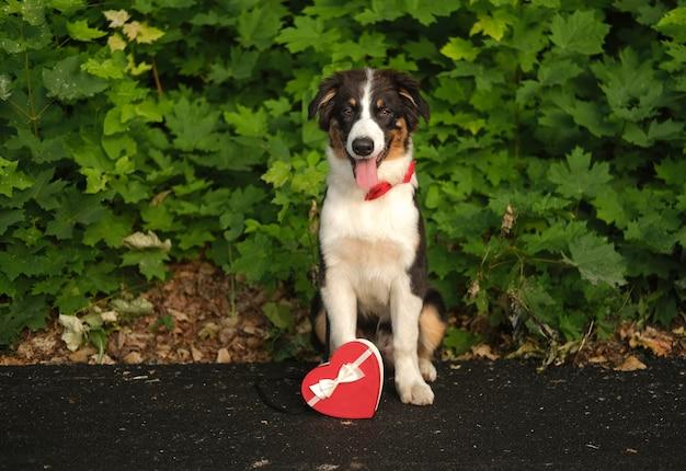 Lustiger netter australischer schäferhund drei farbenwelpenhund, der rotes bowtie mit herzgeschenkbox trägt. valentinstag. draussen. im sommerpark.