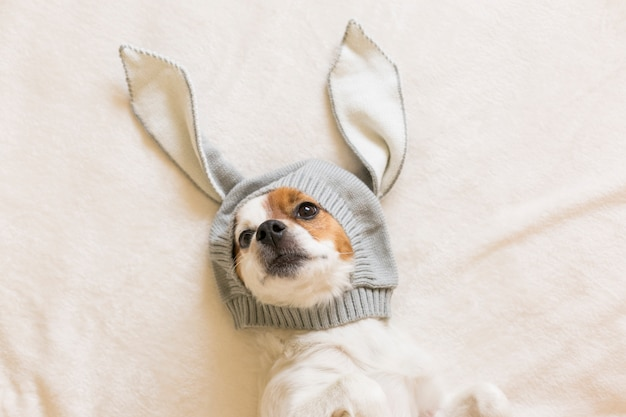 Lustiger netter kleiner hund, der auf bett und mit einem kostüm von häschenohren sitzt. haustiere drinnen. ansicht von oben
