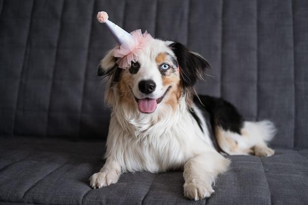 Lustiger niedlicher australischer schäferhund blauer merle hund, der rosa parteihut trägt. alles gute zum geburtstag.