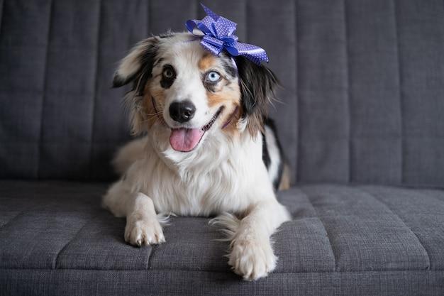 Lustiger niedlicher australischer schäferhund blauer merle hundebandbogen auf kopf
