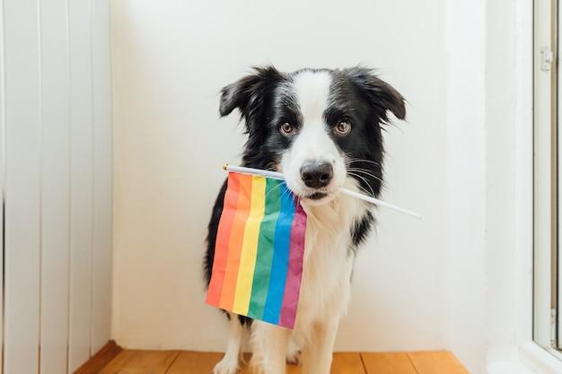 Lustiger niedlicher welpenhunde-grenzcollie, der lgbt-regenbogenfahne im mund auf weißem hintergrund zu hause innen hält.