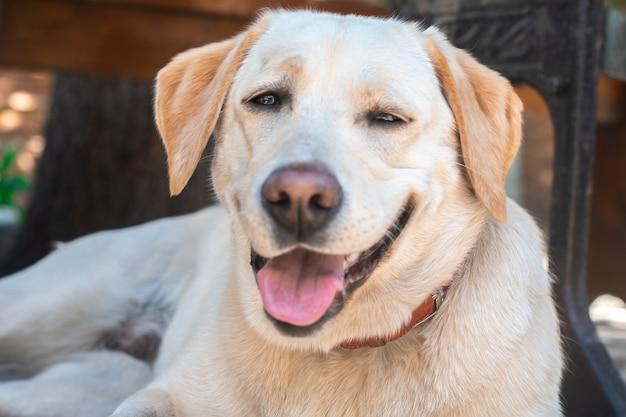 Lustiger pelziger hund labrador auf der straße