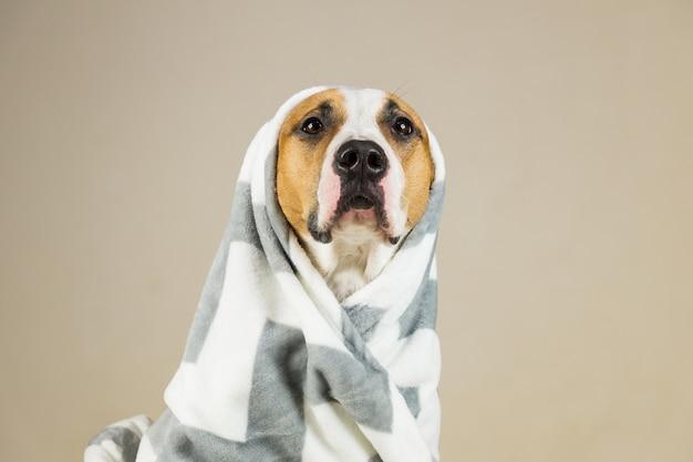 Lustiger pitbull-hund in der decke werfen. schöner junger staffordshire-terrier, der in minimalistischem hintergrund nach bad oder dusche aufwirft, eingewickelt in handtuch oder plaid