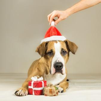 Lustiger pitbull-welpe wirft mit überraschenden neujahrsgeschenken auf, menschliche hände setzen weihnachtsmütze auf seinen kopf