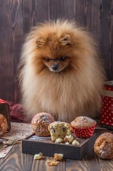Lustiger pommerscher hund mit leckereien auf holztisch. flauschiger hund. pommerscher hund mit muffins