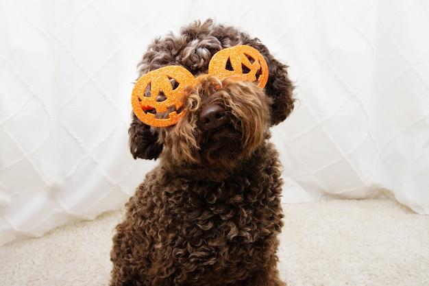 Lustiger pudelhund, der halloween mit kürbisgläsern feiert.