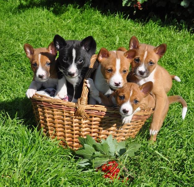 Lustiger roter basenji-hundewelpe im korb