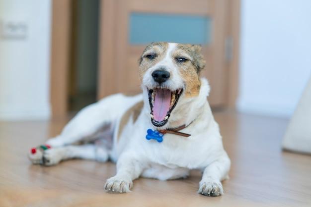 Lustiger schläfriger gähnender hund gähnt zu hause und schaut in die kamera, die auf dem boden liegt, möchte schlafen