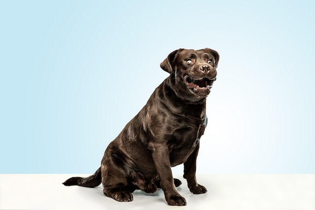 Lustiger schokoladen-labrador-retriever-hund, der im studio sitzt