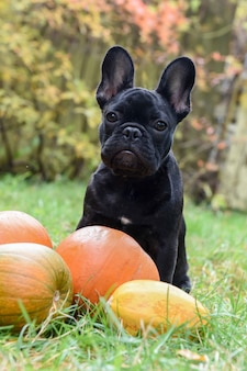 Lustiger schwarzer junger französischer bulldoggenhund und kürbis für halloween