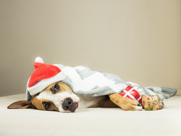 Lustiger staffordshire terrier-welpe im weihnachtsmann-weihnachtsmann-maskeradenhut legt eingewickelte wurfdecke im bett mit neujahrsgeschenk.