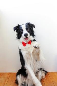 Lustiger studioporträtwelpenhunde-grenzcollie in fliege als gentleman oder bräutigam auf weiß. neues schönes familienmitglied kleiner hund, der kamera betrachtet. lustiges haustier-tier-lebenskonzept.