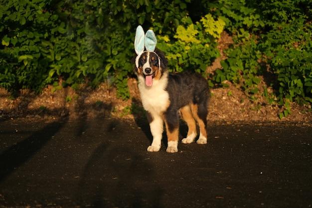 Lustiger süßer australischer schäferhund drei farben, der hasenohren trägt. frohe ostern. urlaub. draussen. im frühlingspark.
